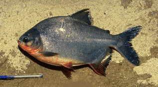 Animales del llano peces for Pez cachama
