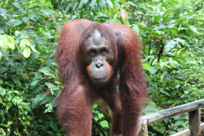 Orang-utan or Man of the Forest