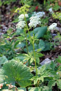 Egopode, podagraire, herbe aux gouteux, au milieu de quelques feuilles de pétasite
