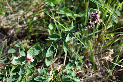 Origan (origanum vulgare)