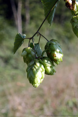 Cnes de houblon (humulus lupulus)
