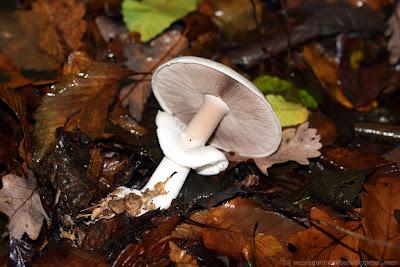 Agaric des bois (agaricus silvicola), attention aux risques de confusion avec certaines amanites très toxiques