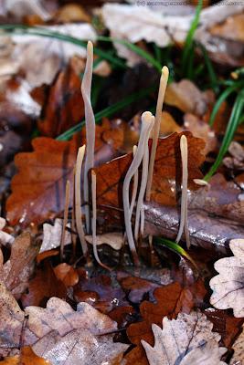 Clavaires en forme de joncs (clavariadelphus junceus)