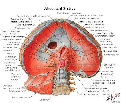 Tu Preparador de Anatomía: Diafragma - Anatomía humana, anatomía con ...