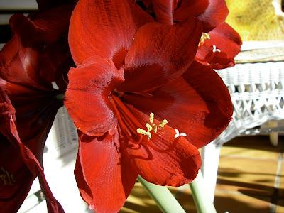 how to make a amaryllis bulb grow bigger