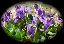 English Violets