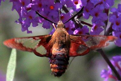 Hummingbird moth (Hemaris diffinis)