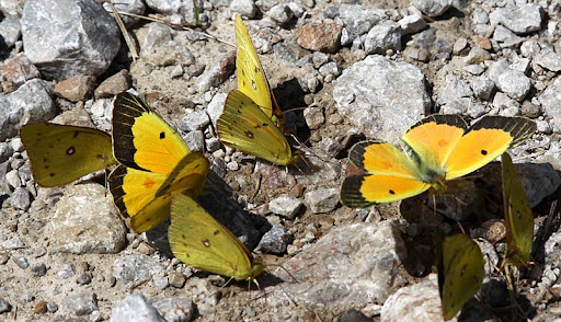 Orange Sulfurs (Colias eurytheme)