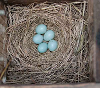 eastern bluebird nest/eggs