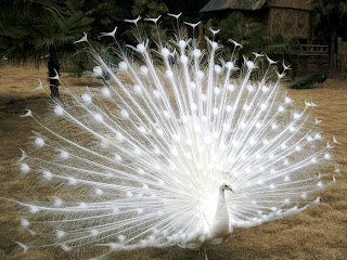 Beautiful Peacock Picture 1