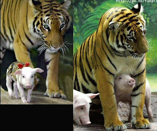 tiger and pigs 1