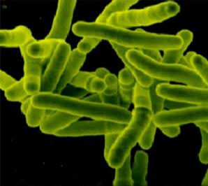 TBC mycobacteria