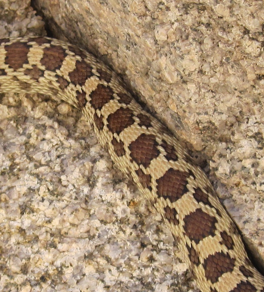 Gopher snake - photo#3