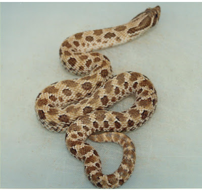 Cannundrums: Western Hognose Snake