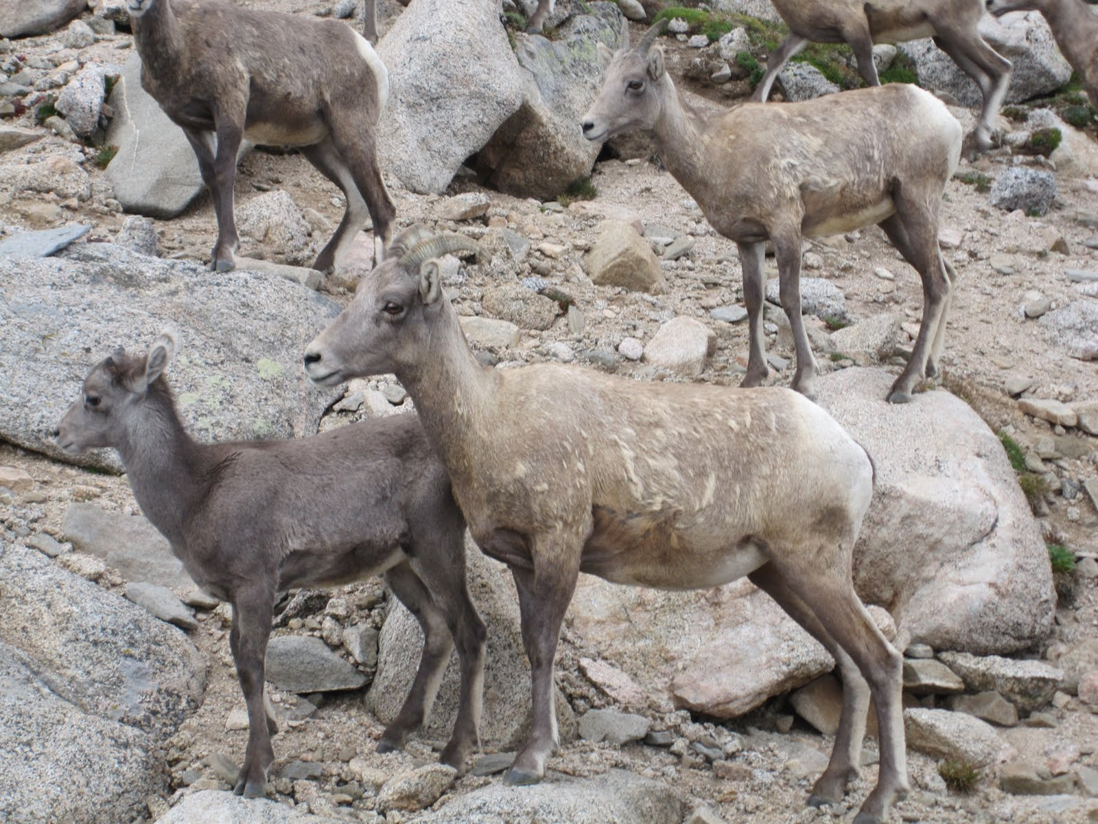 Cannundrums Rocky Mountain Bighorn Sheep