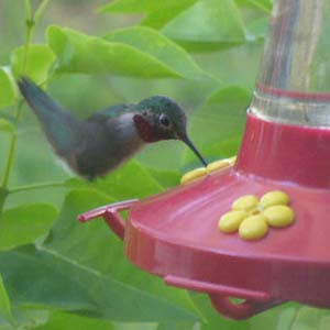 Hummingbird at the Feeder · TheDailyGreen.com