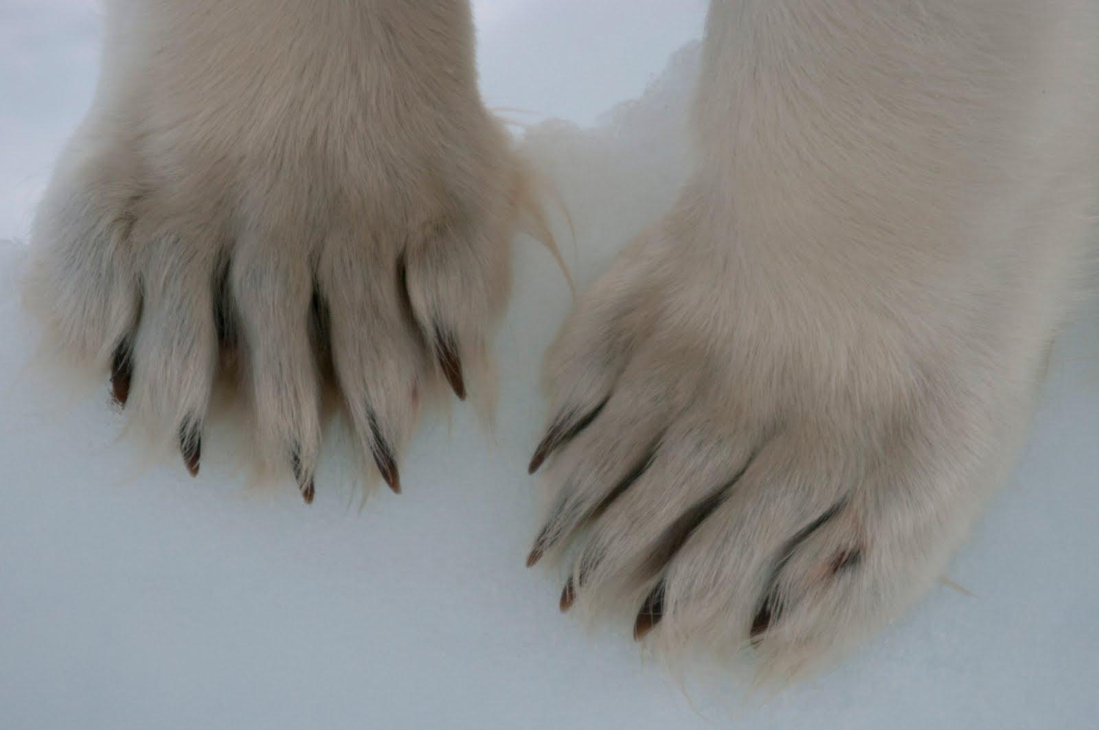 Polar bear claws - photo#24