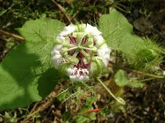flor de la cocorilla