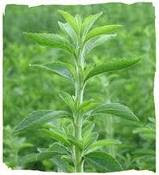 PLANT OF MEETHI PATTI