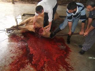Ritual Slaughter Shechita+014