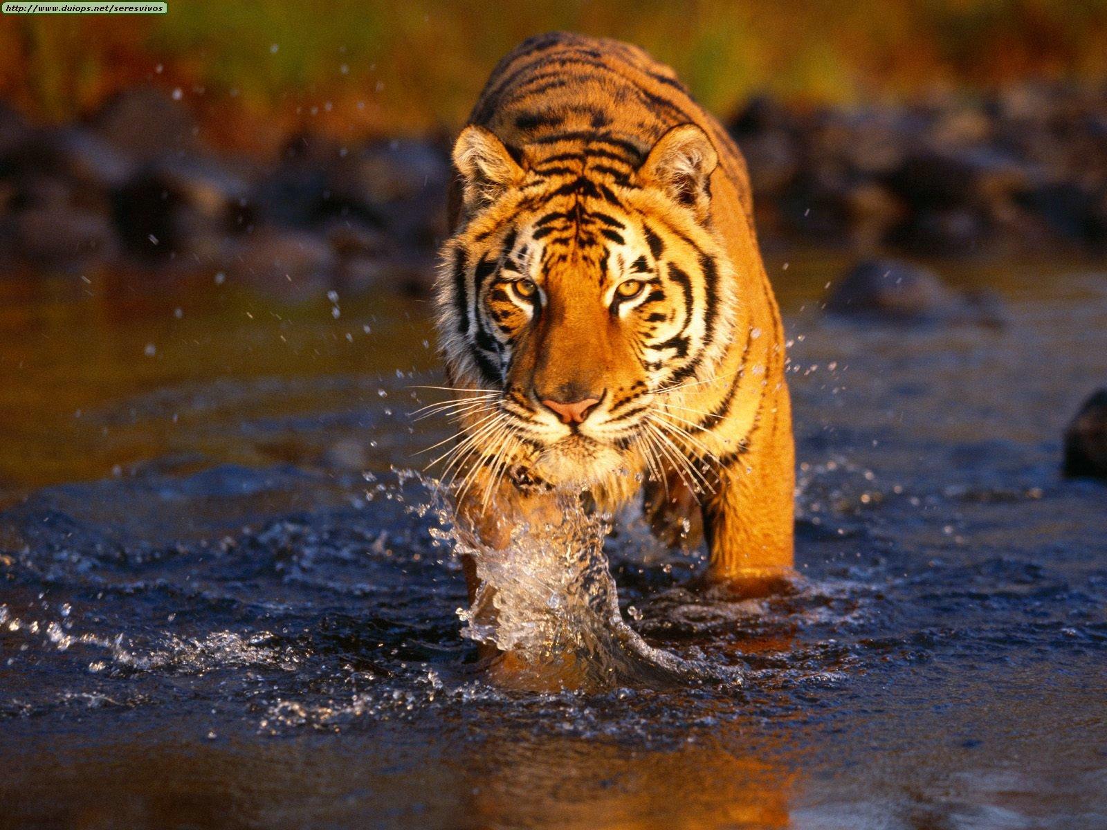 http://4.bp.blogspot.com/_H2A9a9jDeYc/TGyrpVlQTJI/AAAAAAAAAYw/Ei3-3JCq--c/s1600/Creek+Crossing,+Bengal+Tiger.jpg