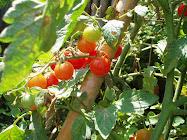 Los tomates del tio Pepe...