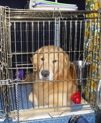 A large male golden retriever in his crate