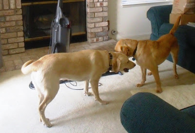 Reyna and Wendy playing together in Glenda's living room.  They both have happy tails!