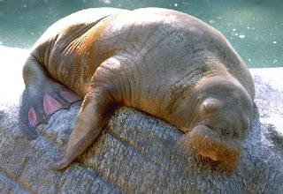 Walrus Wrinkles