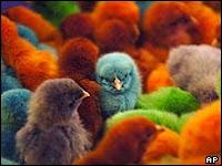 Colored Chicks at Triple D Hatchery Palmer, Alaska