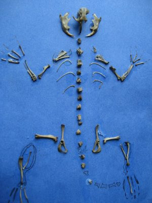 Mouse Skeleton from an Owl Pellet