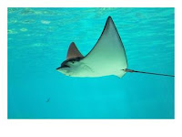 Sting Ray