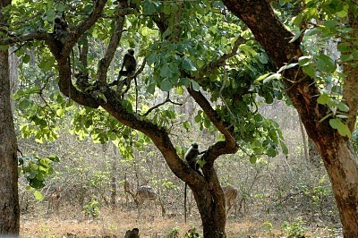 Monkeys on the Kabini River