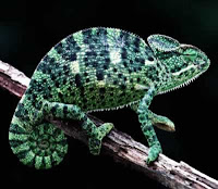 Chameleon