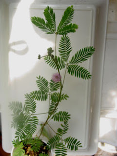 Mimosa pudica, the Tickle Me Plant