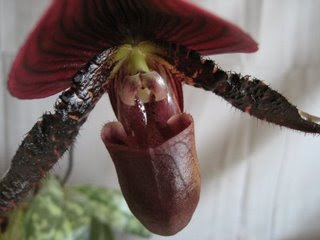 How to Grow Orchids-Paphiopedilum