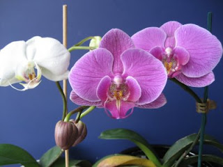 How to Grow Orchids-Phalaenopsis