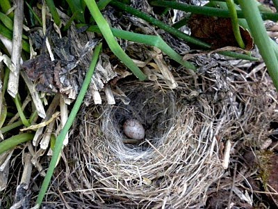 Dark-eyed Junco Nest