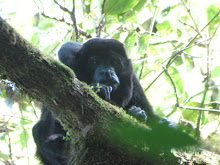 The Dominant Male from a Troop of Howler Monkeys