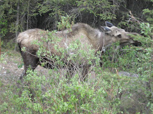 A Moose - Without Doubt the Ugliest Creature on Earth