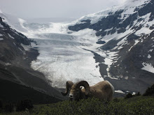 Mountain Goat, with the Athabasca Glacier in the Background