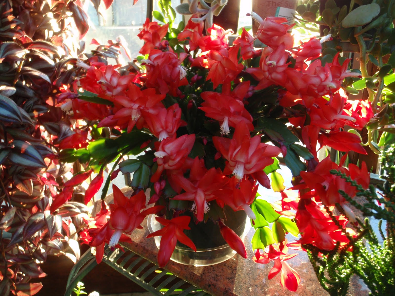 A Step in Thyme: Christmas Cactus