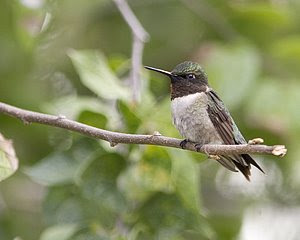 Ruby-throated Hummingbird, San Angelo S.P., ©2008 Jim Miller