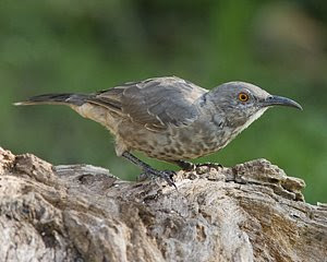 Curve-billed Thrasher, San Angelo S.P., ©2008 Jim Miller