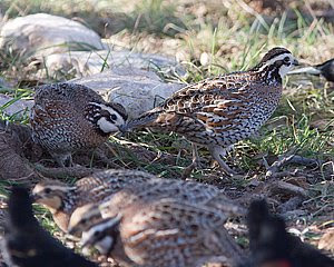 Northern Bobwhite Invasion