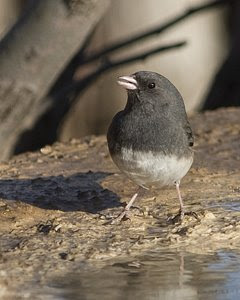 Dark-eyed Junco, South Llano River State Park, ©2009 Jim Miller