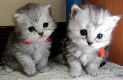 Comelnya Kucing Siam    Kucing Siam
