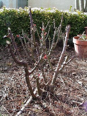 La magia de mi jardin empiezo podando los rosales - Cuando se podan los rosales en espana ...
