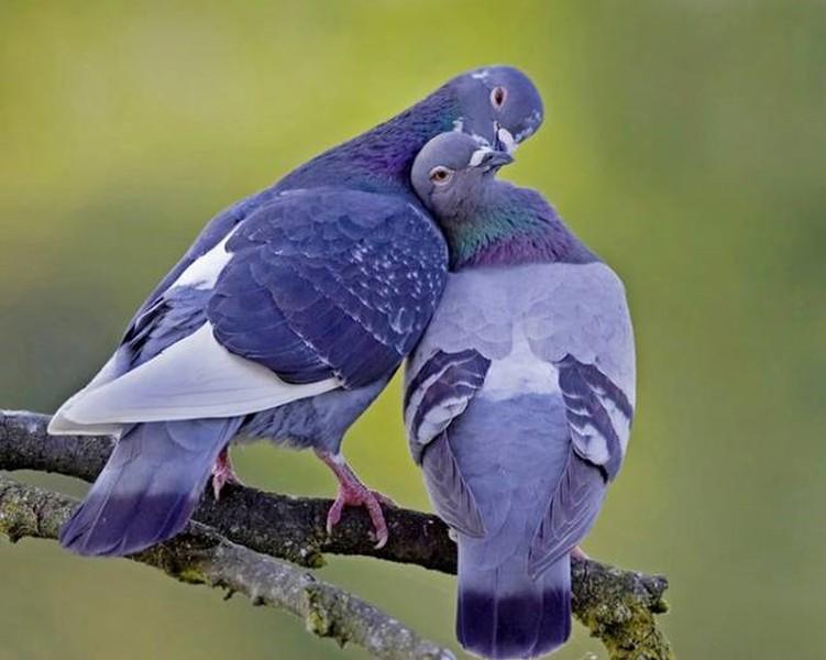 Birds in love (sono piccioni o mi sbaglio?) dans A. UCCELLI animals-in-love-9