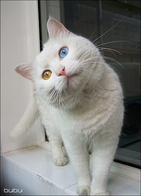 White Cat With Two Different Color Eyes  Seen On www.coolpicturegallery.us